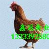 鹤壁鑫冠禽业育成基地,常年出售60-120日龄青年鸡,鸡苗