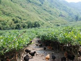 茶园养鸡 武汉黄陂农民年赚近百万