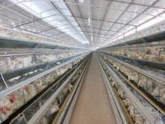 高智能全自动化生产线肉鸡养殖大棚出租