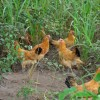 大量供应散养童子鸡