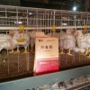肉鸡催肥剂白金肽——催肥快解药残