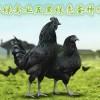 鸡苗厂家批发包成活,湖北华绿禽业