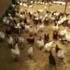 河北地区出售成品鸡