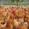 河北青年鸡厂家提供优质的青年鸡