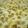 出售优质鸡苗。品种包括816二元,817小杂
