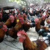 长期提供跑地肉鸡