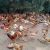 经销批发 江西优质广丰白耳鸡 生态放养肉质鲜美(150日龄)