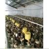 2017年鲁德柴鸡孵化厂大量供应柴家苗15053465205