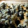 厂家直销广东贵妃鸡种苗,贵妃鸡种蛋,贵妃鸡批发出售
