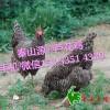 秦山源芦花鸡,土鸡苗,土鸡蛋,土鸡