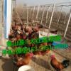 秦山源·大红瑶鸡/大黑瑶鸡,土鸡苗是多少钱一只?