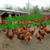 秦山源·固始鸡,成鸡销售,成鸡回收