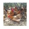 厂价批发南丹红瑶鸡母苗 质量好发货包存活 提供技术
