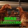 青年鸡|青年鸡价格|青年鸡厂家