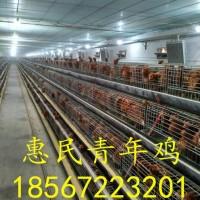 鹤壁60天海兰灰青年鸡价格