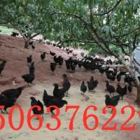 石家庄出售红玉鸡苗 大红公鸡苗 380鸡苗 量大包邮