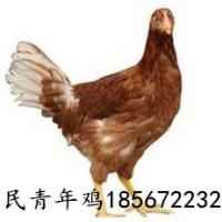鹤壁青年鸡厂家