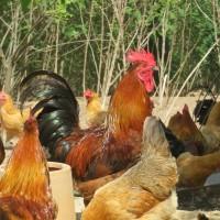 重庆优质青脚土鸡苗供应 卓农土鸡苗,香鸡苗,黑鸡苗批发价格