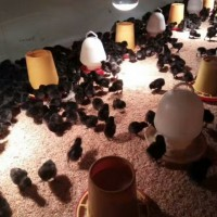 九龙地区养殖绿壳蛋鸡苗批发价格 五黑绿壳蛋苗的市场