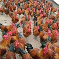 沿河地区养殖红瑶鸡苗的市场 如何保证雏鸡的育雏温度