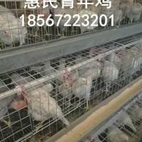 鹤壁农大3号青年鸡价格