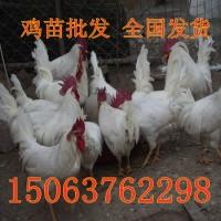 湖南地区鸡苗价格笨鸡土鸡价格五黑鸡苗价格种蛋麻鸡