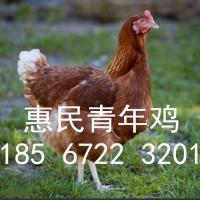 60天青年鸡胫长标准