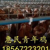 60天的青年鸡价格