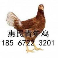 京红蛋鸡青年鸡