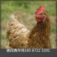 2019年青年鸡价格