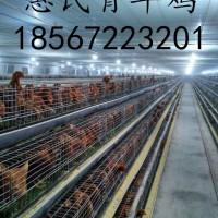 海兰灰青年鸡体重标准