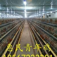鹤壁大型青年鸡养殖场