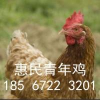 海兰褐青年鸡出厂价