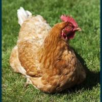 60天青年鸡体重标准