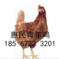5000只95天海兰褐青年鸡每只23元