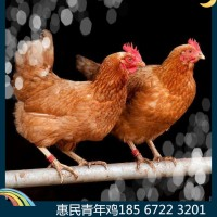 60日龄罗曼灰青年鸡养殖基地
