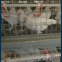 罗曼灰青年鸡,60天罗曼灰青年鸡,鹤壁罗曼灰青年鸡