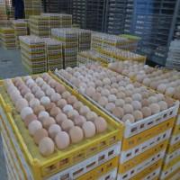 巫山条件优越,山林果园更适合养殖卓农香鸡,黑乌鸡苗,成活率高