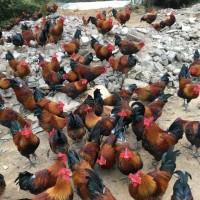 正安哪里有优质香土鸡苗供应  黑红羽香鸡苗今天报价