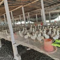 """肉鸡肉鸭养殖户这样做,避免夏季""""热应激""""""""水样便""""多发"""